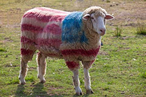 america-sheep