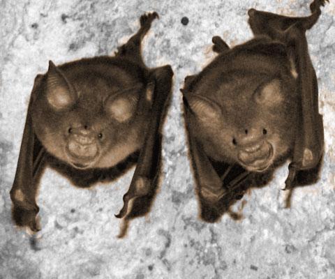 bat-human-coronavirus
